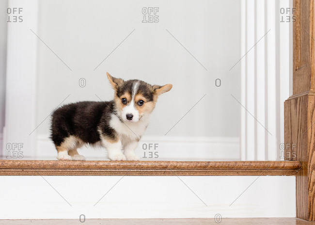 Adorable tiny welsh corgi puppy standing at top of stairs indoors