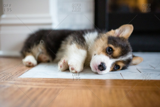 Tiny cute tricolor corgi puppy laying on hearth by fireplace indoors
