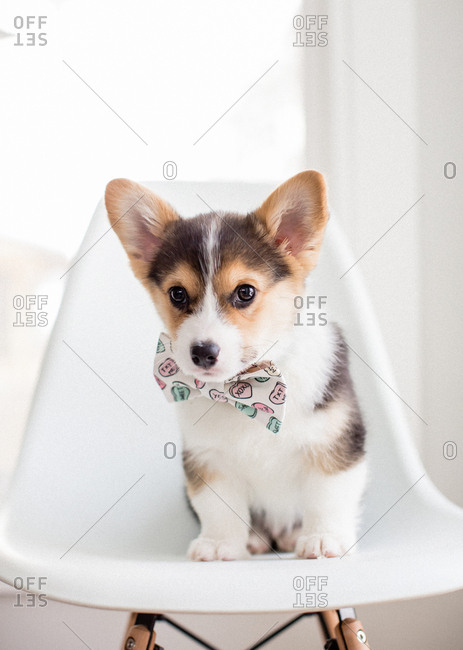 Adorable small tricolor corgi puppy sitting on chair with heart bowtie