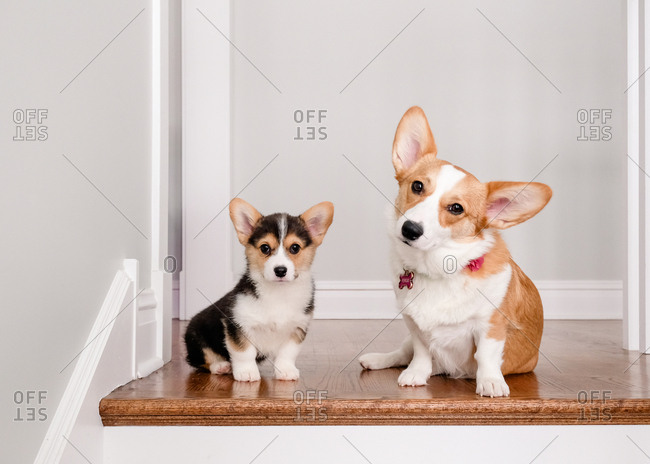 Puppy and adult welsh corgis sitting on top of stairs indoors