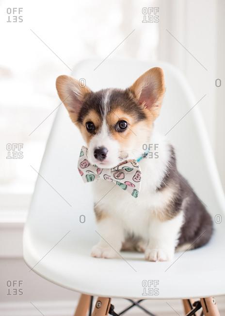 Cute corgi puppy sitting on white chair wearing conversation heart tie