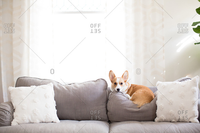 Red and white corgi dog laying on couch cushions indoors neutral decor