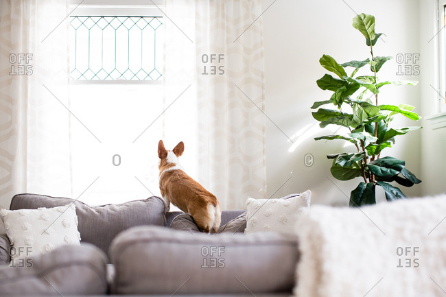 Corgi dog standing on couch cushion looking out window indoors