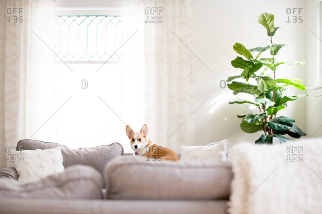 Cute corgi dog laying on couch indoors next to fiddle leaf fig