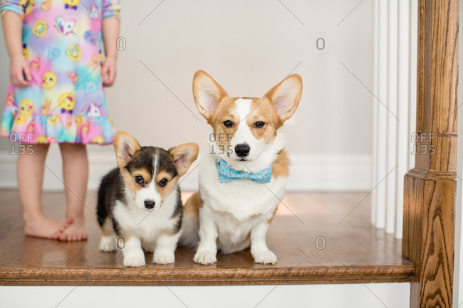 Bottom view of little girl standing next to two cute corgi dog puppies