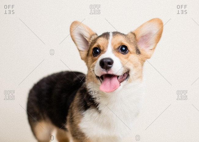 Cute tricolor corgi puppy on neutral bright background panting