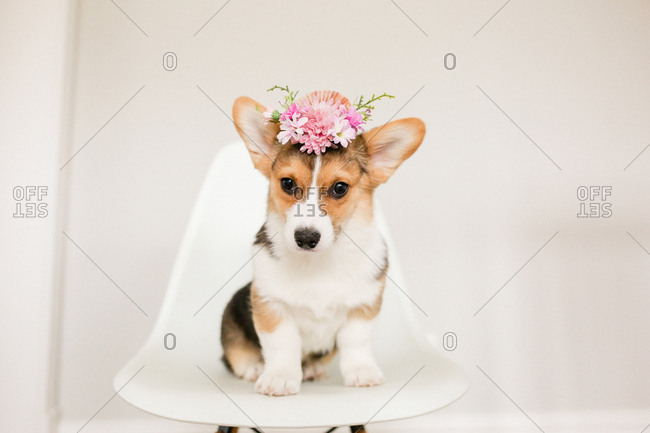 Cute corgi puppy sitting on white chair with pink flower crown