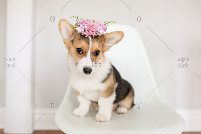 Adorable tricolor corgi puppy sitting in white chair with flower crown