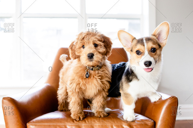 Doodle puppy and corgi puppy standing in leather chair indoors