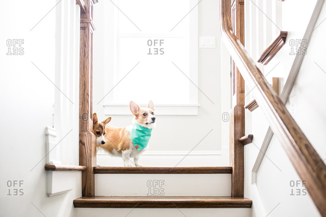 Corgis on top of staircase making funny faces indoors