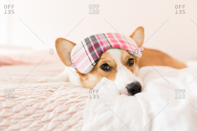 Corgi laying in pink bed with sleeping mask over eyes looking