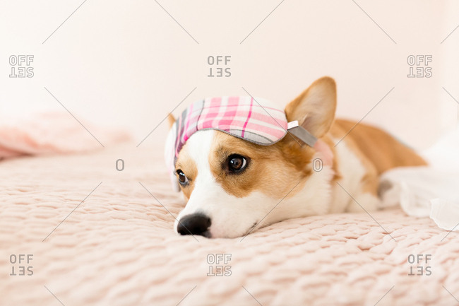 Cute corgi laying on pink bed looking away with sleeping mask on