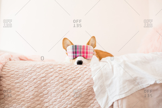 Front view of corgi with plaid sleeping mask over eyes on pink bed