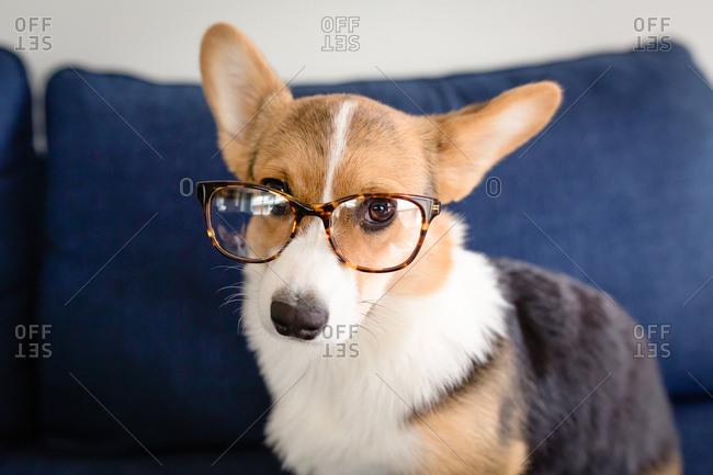 Cute tricolor corgi puppy with tortoiseshell eyeglasses on looking