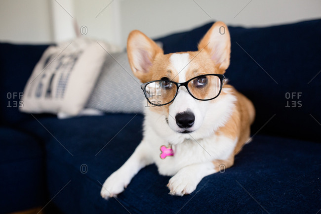 Funny Corgi dog wearing glasses and looking up laying on couch indoors