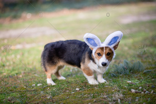 Side view of cute tricolor corgi puppy outdoors wearing bunny ears