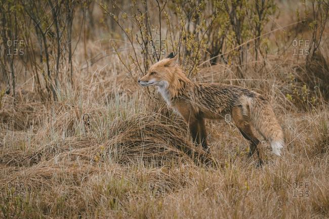 Side view of fox standing on grassy field