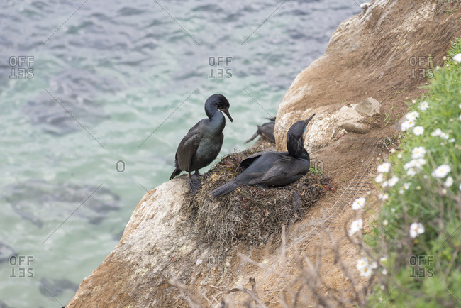 Cormorants at the La Jolla Cove.