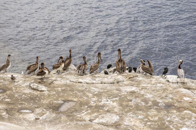 Pelicans on the La Jolla coastline.