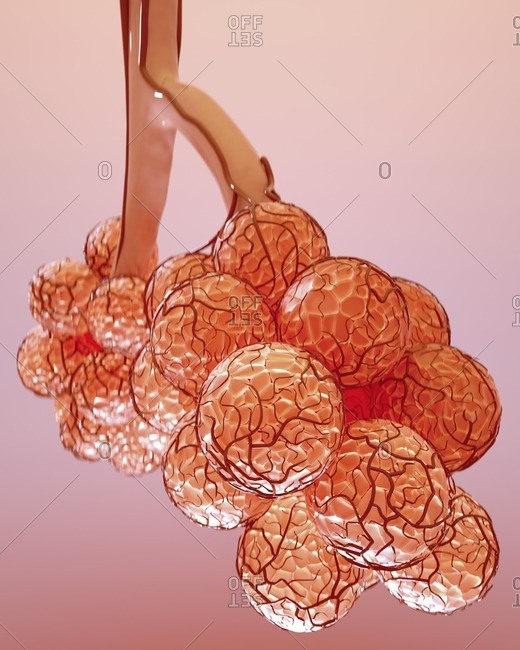 Alveoli, illustration