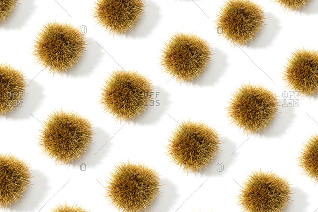 Chestnut husk pattern background. Castanea sativa