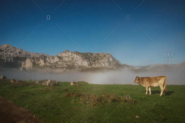 Cattle in green meadow during foggy sunny weather