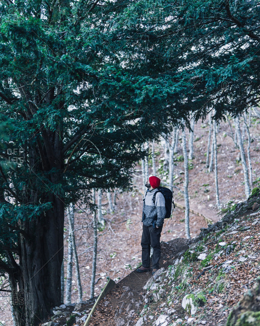 Side view of male backpacker in red cap standing next to massive green pine tree on mountain slope with leafless trees on background