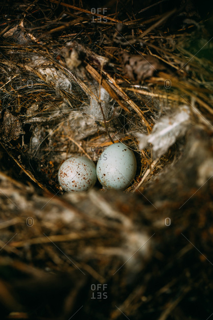 From above nest with small bird eggs placed on branches of thin conifer tree in forest