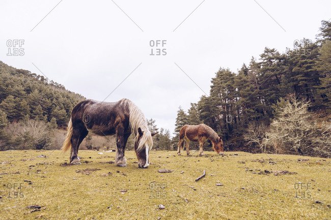 Healthy horses grazing at lawn by evergreen trees at idyllic valley