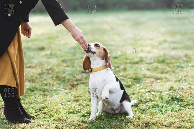 """The woman teaches the beagle puppy command """"Give Me Paw"""""""