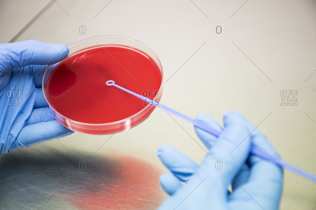 Crop hands in gloves putting samples on petri dish while working in microbiologist laboratory