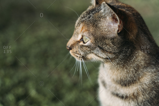 Portrait of tabby cat looking at distance outdoors
