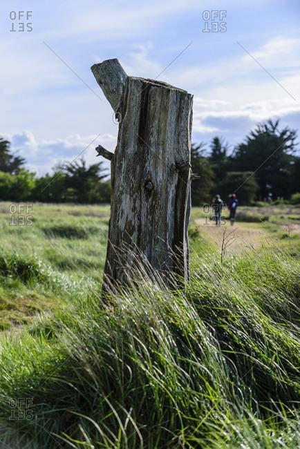 Old tree stump in a field, Arz Island in Morbihan gulf, Morbihan, France