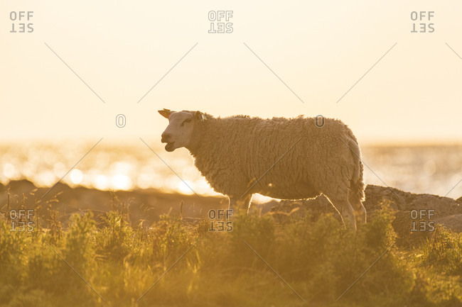 Sheep on coast - Offset Collection