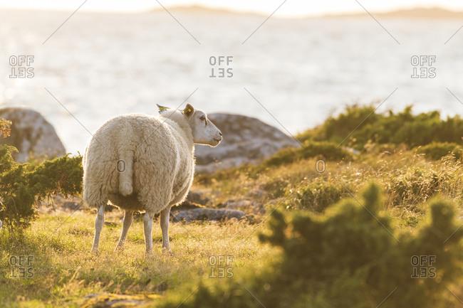 Sheep on coast