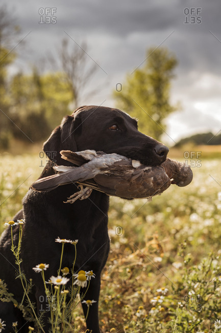 Hunting dog carrying dead bird