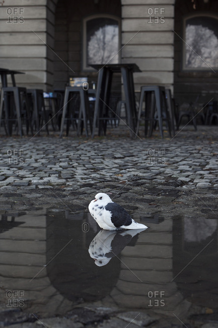Bird sitting in a rain puddle on cobblestone street, Budapest, Hungary