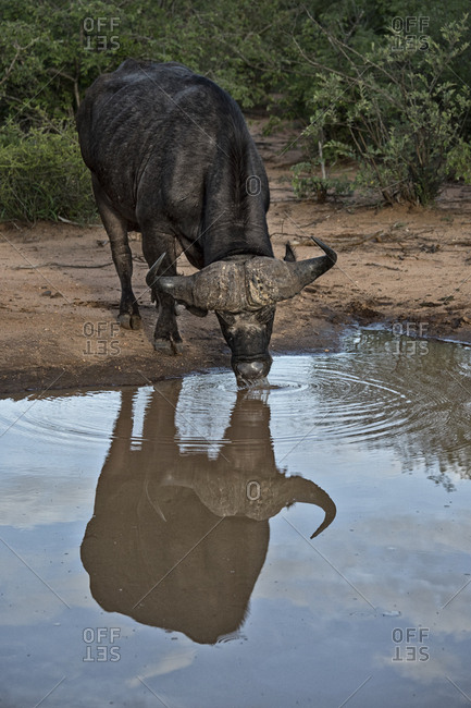 Water buffalo drinking water at a watering hole in the Ntsiri Nature Reserve