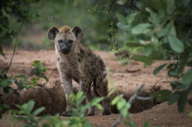 A hyena in the Ntsiri Nature Reserve