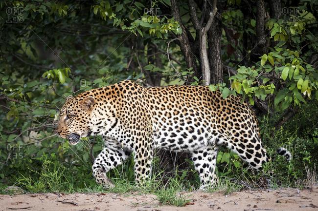 A leopard in the Ntsiri Nature Reserve