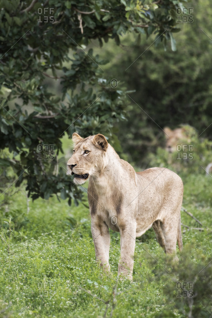 A lioness in the Ntsiri Nature Reserve