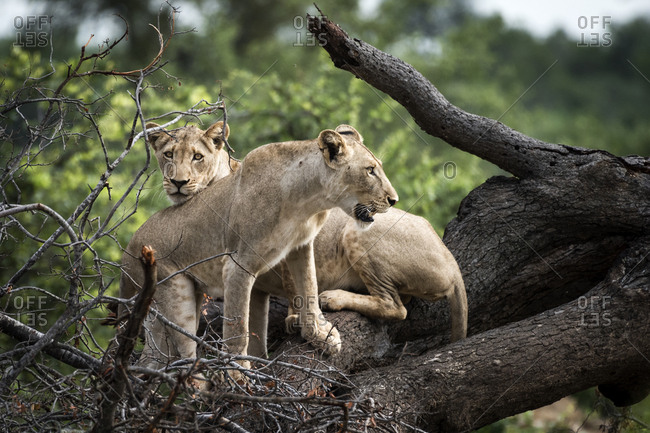 Lionesses resting on a dead tree in the Ntsiri Nature Reserve