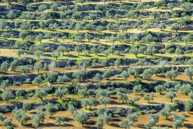 Terraced olive groves in Wadi Al-Dileb near Ramallah, Ramallah and al-Bireh Governorate, West Bank, Palestine.