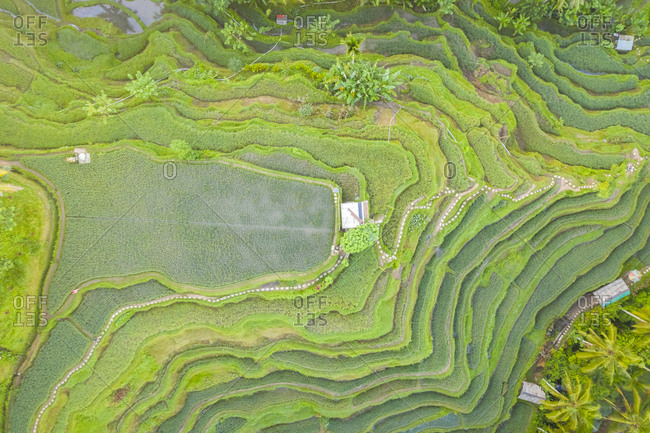 Aerial view over Tegallalang Rice Terrace touristic attraction, Indonesia.