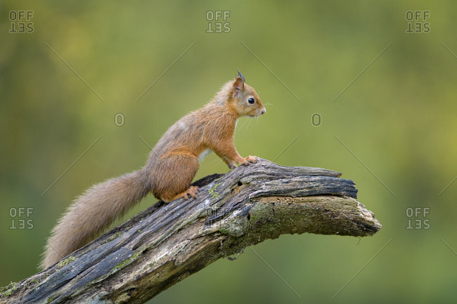 Red squirrel sitting on tree trunk