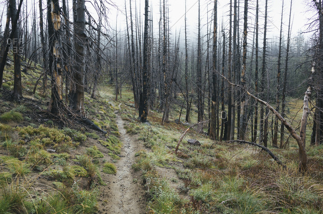View of the Pacific Crest Trail through wildfire damaged subalpine forest, Mt. Adams Wilderness, Gifford Pinchot National Forest, Washington