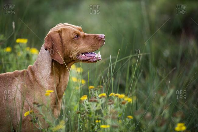 Portrait of Vizla dog sitting on a meadow.
