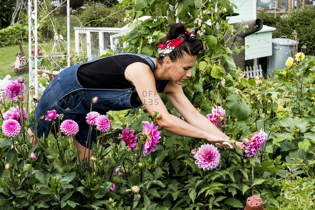 Woman standing in a garden, picking pink Dahlias.