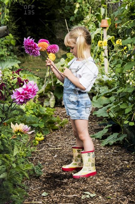 Blond girl standing in a garden, picking pink Dahlias.