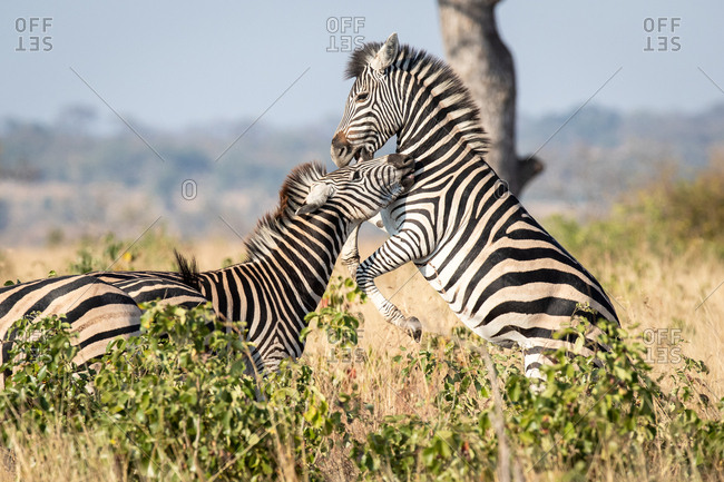 Two zebra, Equus quagga, play together, standing on hind legs rearing up.